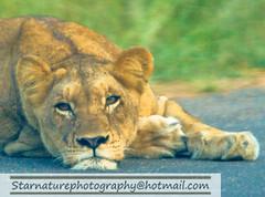 _DJA3675 copy (naturephotographywildlife) Tags: kruger wildlife scenery animals birdlife a99ii africa park lioness
