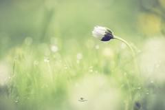 After the rain... (Melanie Martinu) Tags: grass beauty little germany bavaria canon bokeh white green raindrops rain macro spring garden flower daisy