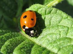 Ladybug (DanielaC173) Tags: insect macro arthropod coleoptera ladybug ladybird coccinellid joaninha