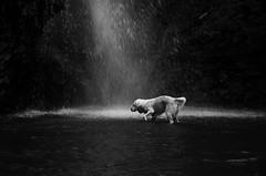 braveheart (simona.photo) Tags: dogs goldenretriever waterfall blackandwhite bw mysweetlucy nikon d7000 placesofmyhappiness