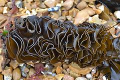 seaweed (curly_em) Tags: cowes hampsire isleofwight seaside town beach sea seaweed concertina ribbon pattern patterns