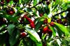 Cerezas mix (Helena de Riquer) Tags: cirerer cerezo cherrytree cerisier rosaceae prunusavium arbre árbol tree fruita fruta frutta fruits ferran lasegarra cherries spring printemps primavera nature natura naturaleza natureza topf25 helenaderiquer topf50 interestingness topf75 june juny junio flickr 2017 sony sonydsch20 carlzeiss topf100 100faves provinciadelleida catalunya cataluña catalonia catalogne saveearth
