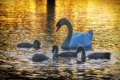 Golden Hour (paulinuk99999 (lback to photography at last!)) Tags: paulinuk99999 mute swan mother cygnets spring may 2017 heron pond bushy park london surrey wildlife sunset golden sal70400g explore