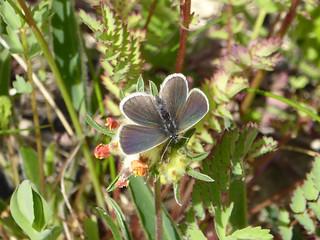 Small Blue - Cupido minimus - Stonepit Field Park MK 03Jun17 a
