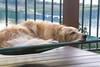 A Dog's Life (Karon Elliott Edleson) Tags: golden goldenretriever canine resting napping dogdayafternoon atticus desertgoldens
