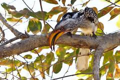 Yellow-Billed Hornbill (naturalturn) Tags: hornbill yellowbilledhornbill savanna tree savuti chobe chobenationalpark botswana image:rating=5 image:id=205031