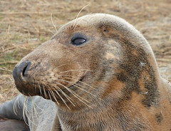 Grey Seal (Peanut1371) Tags: greyseal seal mammal donnanook nationalgeographicwildlife