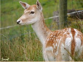 Un jeune daim - A young deer