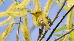 Yellow warbler (Setophaga petechia) (Tony Varela Photography) Tags: canon photographertonyvarela warbler setophagapetechia yellowwarbler yellowonyellow