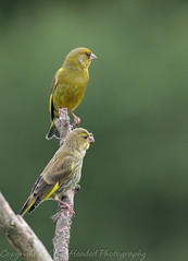 Greenfinches - Adult and juvenile (Carduelis chloris) Best viewed large (hunt.keith27) Tags: carduelis chloris carduelischloris greenfinches adult juvenile twittering wheezing song yellow green sociable squabble devon garden young trichomonosis aparasiteinduceddisease