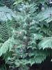 Wollemia Nobilis 29.09.2014 (NashiraExoticGarden) Tags: wollemianobilis exoticgarden exotentuin 29092014