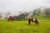 Horse Grazing at Paye Meadows (mimalkera) Tags: kaghanvalley naran kaghan shogran siripaye payemeadows lakesaifulmalook travelpakistan travelbeautifulpakistan travel wanderlust