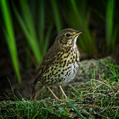 The Singer (MrBlueSky* (I'm back)) Tags: songthrush thrush bird animal nature wildlife outdoor green colour kewgardens royalbotanicgardens london aficionados pentax pentaxart pentaxlife pentaxk1 pentaxawards pentaxflickraward grass