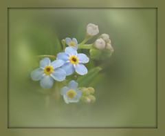 Forget-me-not (Linda DV) Tags: lindadevolder nationalbotanicgardenofbelgium nationaleplantentuinmeise jardinbotanique belgium meise meiseplantentuin arboretum nature canon powershotsx40 2013 geotagged geomapped park myosotis boraginaceae wildflower ribbet blueflower boraginales