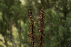 """Woodland Pinedrops • <a style=""""font-size:0.8em;"""" href=""""http://www.flickr.com/photos/63501323@N07/34560257110/"""" target=""""_blank"""">View on Flickr</a>"""