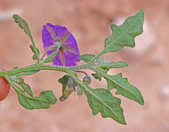CAD0014472a (jerryoldenettel) Tags: 170518 2017 asterids boneyhill curryco nm purplegroundcherry quincula quinculalobata solanaceae solanales flower groundcherry willdflower
