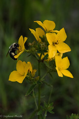 Yellow Bog Flower, ID? (stephaniepluscht) Tags: alabama 2017 graham creek nature preserve foley wildflowers wildflower bog yellow flower bee