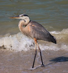 Wading In The Surf (robert (Bobby)powell) Tags: southwestflorida leecountyfl sunshinestate wildlife birds floridabeaches florida beach robertbobbypowell greatblueheron nature andeaherodias gulfofmexico fortmyersfl fortmyersbeachfl imagesoffortmyersfl wadingbirds flickr flickrfromyahoo rpowell imagesofflorida heron fortmyerslagoon surf flickriver bird water animal usa thegulf canon wildlifephotographer amazingphotography naturephotography nationalgeographic|worldwide