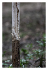 Serie:Angelica (R. Drozda) Tags: fairbanks home garden angelicalucida umbelliferae botanical stalk spring drozda