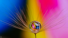 colors in a drop (YᗩSᗰIᘉᗴ HᗴᘉS +5 400 000 thx❀) Tags: 7dwf macro drop color dandelion hens yasmine