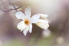 Magnolian beauty (CecilieSonstebyPhotography) Tags: bokeh spring flowers closeup flower ef100mmf28lmacroisusm outdoor canon botaniskhage markiii oslo macro canon5dmarkiii white botanicalgarden petal magniolia petals april ngc npc