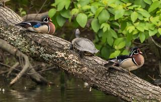 Between the Ducks