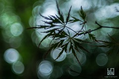 ACER (Lace1952) Tags: acero acerpalmatum bolle sfocato bokeh panasoniclumix fujinon50mmf1e8