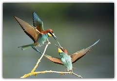 querelle (guiguid45) Tags: nature sauvage oiseaux bird loire loiret d810 nikon 500mmf4 méropidé guêpierdeurope affût meropsapiaster europeanbeeeater coraciiformes