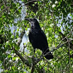 Mr Crow (MrBlueSky*) Tags: crow bird animal nature wildlife outdoor tree kewgardens kingdomanimalia royalbotanicgardens london aficionados pentax pentaxart pentaxlife pentaxk1 pentaxawards pentaxflickraward