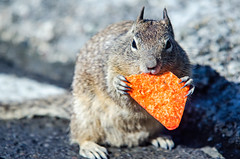 california squirrel eating a dorrito chip on california coast (DigiDreamGrafix.com) Tags: squirrel california unitedstatesofamerica yosemitenationalpark panoramicview yosemitevalley granitecliffs greenlung populartouristdestination biologicaldiversity romanticescape coolsummers giantsequoiagroves sierranevadamountainchain holiday travel summer nature landscape inspiration usa tourism panorama skyline discovery trip wilderness eating chip chips food pacific coast monetey