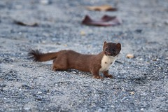 long-tailed weasel, Mustela frenata (jimbop22001) Tags: