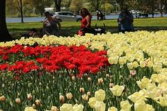 2017 Ottawa Tulip Festival 042 (Chrisser) Tags: flowers tulips tulipfestivals tulipfestival liliaceae nature ottawa ontario canada canoneosrebelt6i canonefs1855mmf3556isstmlens travel