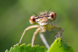 White-legged Damselfly (Platycnemis pennipes)