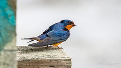 Barn Swallow (Bob Gunderson) Tags: alamedacounty arrowheadmarsh barnswallow birds california eastbay hirundorustica northerncalifornia swallows coth