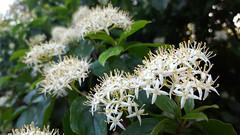 Cornus sanguinea (Iggy Y) Tags: cornus sanguinea spring blossom flowers white color flower green leaves svib common dogwood tree day light nature plant