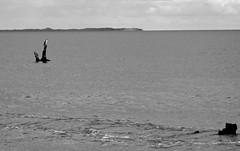 Comforting Cormorant (Padmacara) Tags: australia fremantle g11 robbsjetty wyola sea ocean indianocean clouds gardenisland shipwreck statue cyoconnor bw monochrome bird