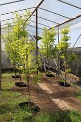 Diospyros kaki-03 (The Tree Library (TreeLib.ca)) Tags: diospyroskaki japanesepersimmon