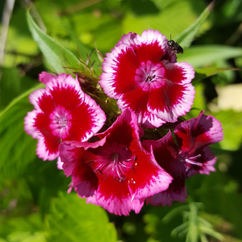 The Worlds Best Photos Of Dianthus And William Flickr Hive Mind