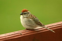 Chipping Sparrow On Front Step Railing 015 - Spizella Passerina (Chrisser) Tags: birds bird sparrows sparrow chippingsparrows chippingsparrow spizellapasserina nature ontario canada canoneosrebelt6i canonef75300mmf456iiiusmlens emberizidae
