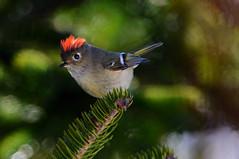 Ruby-crowned Kinglet (Regulus calendula) (Zircon_215) Tags: rubycrownedkinglet reguluscalendula songbird tiny newfoundland westernnewfoundland ladyslipperroad 150600mmsigmasport