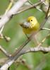 _53F6827 Yellow Warbler (~ Michaela Sagatova ~) Tags: birdphotography canonphotography michaelasagatova yellowwarbler