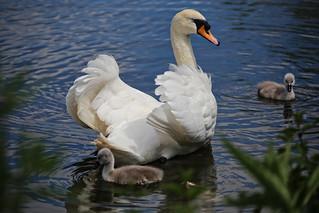 Female Swan with cygnets