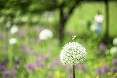 Admiring The Alliums (Fourteenfoottiger) Tags: countryside admiring happy summer spring colourful bokeh swirlybokeh bubblebokeh alliums flowers flora candid helios44m fujixt1 swirly nature trees dof depthoffield abstract garden fields pretty vintagelens legacylens plants