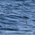 Golondrina de mar subantártica (Garrodia nereis) Grey-backed Storm-petrel thumbnail