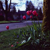 Tulip - Film Hasselblad (Photo Alan) Tags: tulip street streetphotography streetfilm vancouver canada spring springtime springseason hasselblad hasselblad503cw carlzeiss carlzeissplanar80mmf28 middleformat red flowers flower