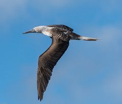 Flying Blue Booby with wings - Galapagos (CapMarcel) Tags: flying blue booby with wings galapagos