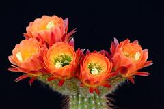 Image8902RR (staffordlaura1955) Tags: cactus cereus blooms nature flowers