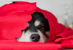 in the red 21/52 (sure2talk) Tags: inthered taivas finnishlapphund red challenge nikond7000 nikkor50mmf14gafs flash speedlight sb900 offcamera softbox diffused we2852017 52weeksfordogs 2152 weekendassignmentandcontest