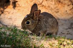 Young rabbit (Kjell Marmlind) Tags: kaninunge kanin rabbit