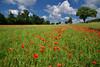 Rouge passion (Excalibur67) Tags: nikon d750 sigma globalvision 24105f4dgoshsma paysage landscape flowers fleurs coquelicots pavots poppies rouge rot